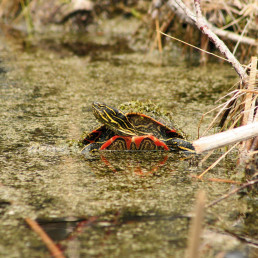 The western painted turtle is beginning to come back in BC as a result of intensive conservation efforts that include WPC's re-introduction programs to supplement wild populations. Photo: Rob Hamm.