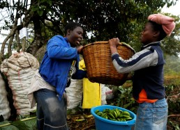 Small scale farmers pack fresh bananas as they wait for transport to local markets in Honde Valley