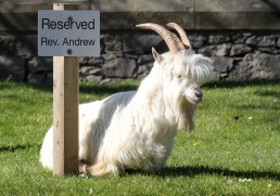 A goat sits next to a reserved sign in Llandudno as the spread of the coronavirus disease (COVID-19) continues, Llandudno, Wales, Britain, March 31, 2020. REUTERS/Carl Recine