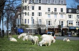 A herd of goats is seen in Llandudno as the spread of the coronavirus disease (COVID-19) continues, Llandudno, Wales, Britain, March 31, 2020. REUTERS/Carl Recine
