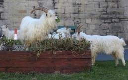 Goats are seen outside a church in Llandudno as the spread of the coronavirus disease (COVID-19) continues, Llandudno, Wales, Britain, March 31, 2020. REUTERS/Carl Recine