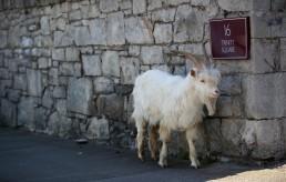 A goat is seen in Llandudno as the spread of the coronavirus disease (COVID-19) continues, Llandudno, Wales, Britain, March 31, 2020. REUTERS/Carl Recine