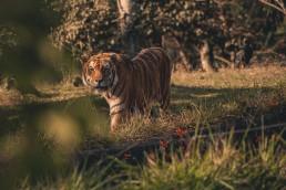 Bengal Tiger. Ph: Lucas Pezeta