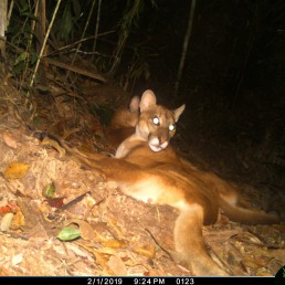 A puma is photographed by a camera trap set up by the WebConserva Foundation in San Lucas, Colombia September 22, 2018. Picture taken September 22, 2018. WebConserva Foundation/Handout via REUTERS