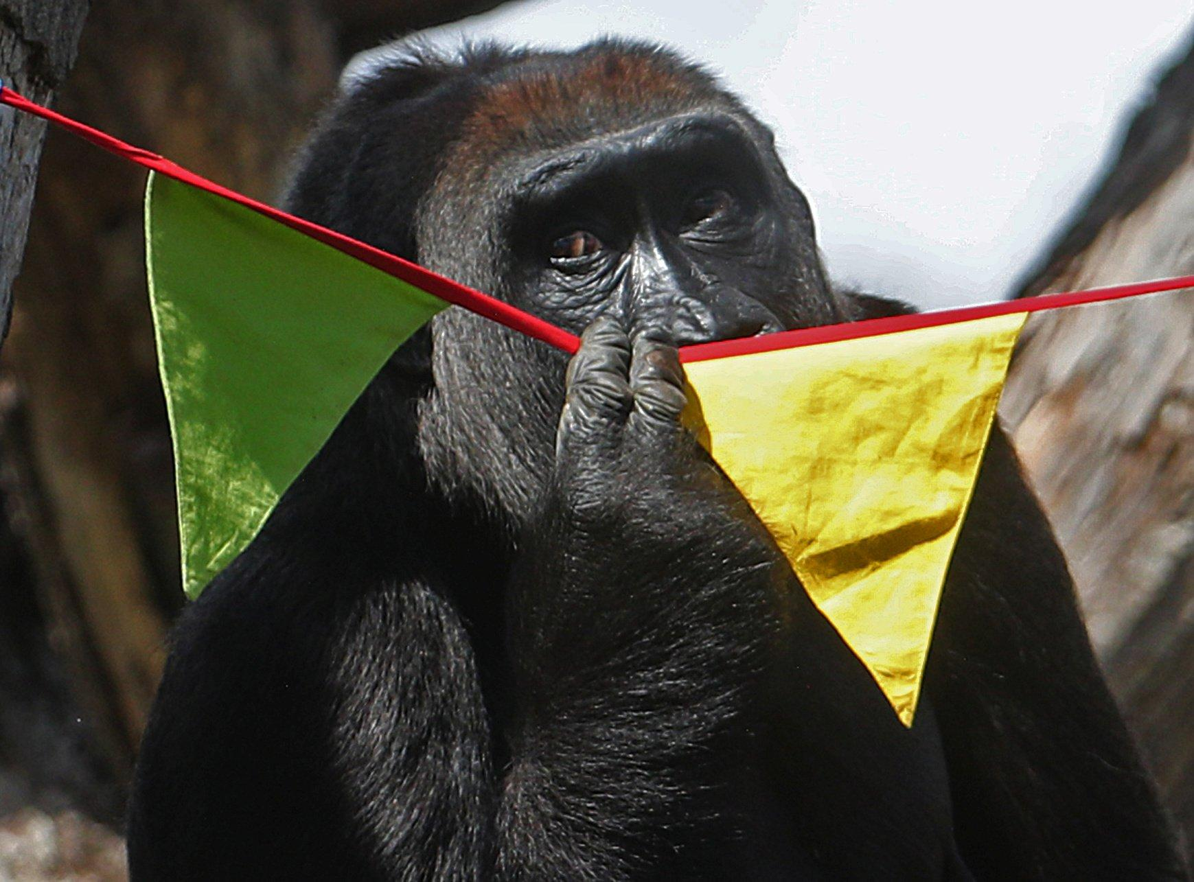 Need a bit more human contact? So do London Zoo's gorillas! - GLOBAL HEROES MAGAZINE