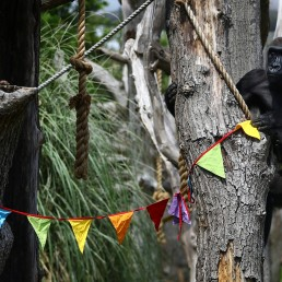 Gorilla Mjukuu plays next to rainbow bunting that is hung in celebration in the gorilla enclosure ahead of the reopening of London Zoo, after an extended lockdown due to the spread of the coronavirus disease (COVID-19) in London, Britain, June 14, 2020. REUTERS/Hannah McKay