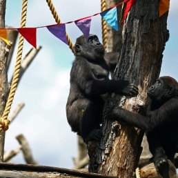 Gorillas Gernot and Alika look at rainbow bunting that is hung in celebration in the gorilla enclosure ahead of the reopening of London Zoo, after an extended lockdown due to the spread of the coronavirus disease (COVID-19) in London, Britain, June 14, 2020. REUTERS/Hannah McKay