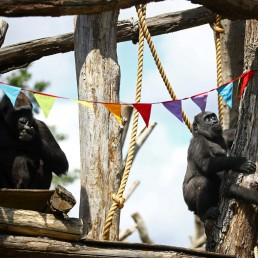 Gorilla Mjukuu and her infants Gernot and Alika look at rainbow bunting that is hung in celebration in the gorilla enclosure ahead of the reopening of London Zoo, after an extended lockdown due to the spread of the coronavirus disease (COVID-19) in London, Britain, June 14, 2020. REUTERS/Hannah McKay