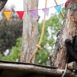Gorilla Mjukuu sits next to rainbow bunting that is hung in celebration in the gorilla enclosure ahead of the reopening of London Zoo, after an extended lockdown due to the spread of the coronavirus disease (COVID-19) in London, Britain, June 14, 2020. REUTERS/Hannah McKay