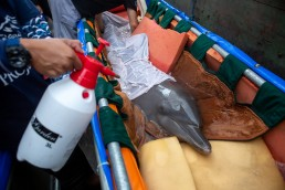 People prepare a bottlenose dolphin to move to Bali Dolphin Sanctuary rehabilitation centre, a project initiated by Bali provincial government and operated by Ric O'Barry's dolphin project team, in Buleleng, Bali, Indonesia October 8, 2019. Courtesy of Ric O'Barry's DolphinProject.net/Handout via REUTERS