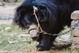 SOS Wildlife saving India's sloth bears