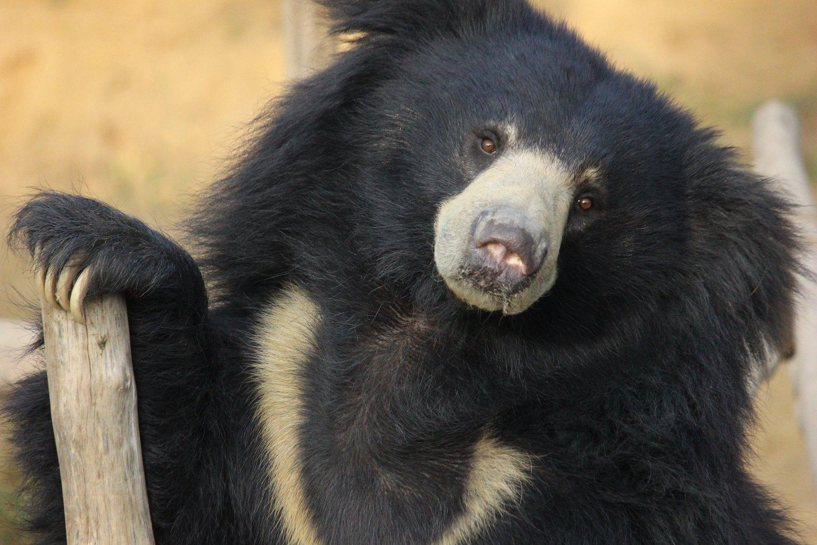 Breaking tradition: The path to saving India's sloth bears - GLOBAL HEROES MAGAZINE