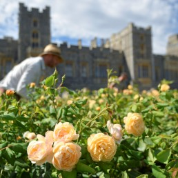 Members of the gardening team prune roses in preparation for the East Terrace Garden at Windsor Castle to be opened to the public for the first time in decades, following the outbreak of the coronavirus disease (COVID-19), Windsor, Britain, August 5, 2020. REUTERS/Toby Melville