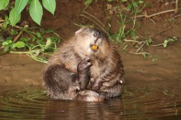 A female beaver is pictured at the River Otter in this undated handout photo in Devon, Britain obtained August 6, 2020. Devon Wildlife Trust/Handout via REUTERS