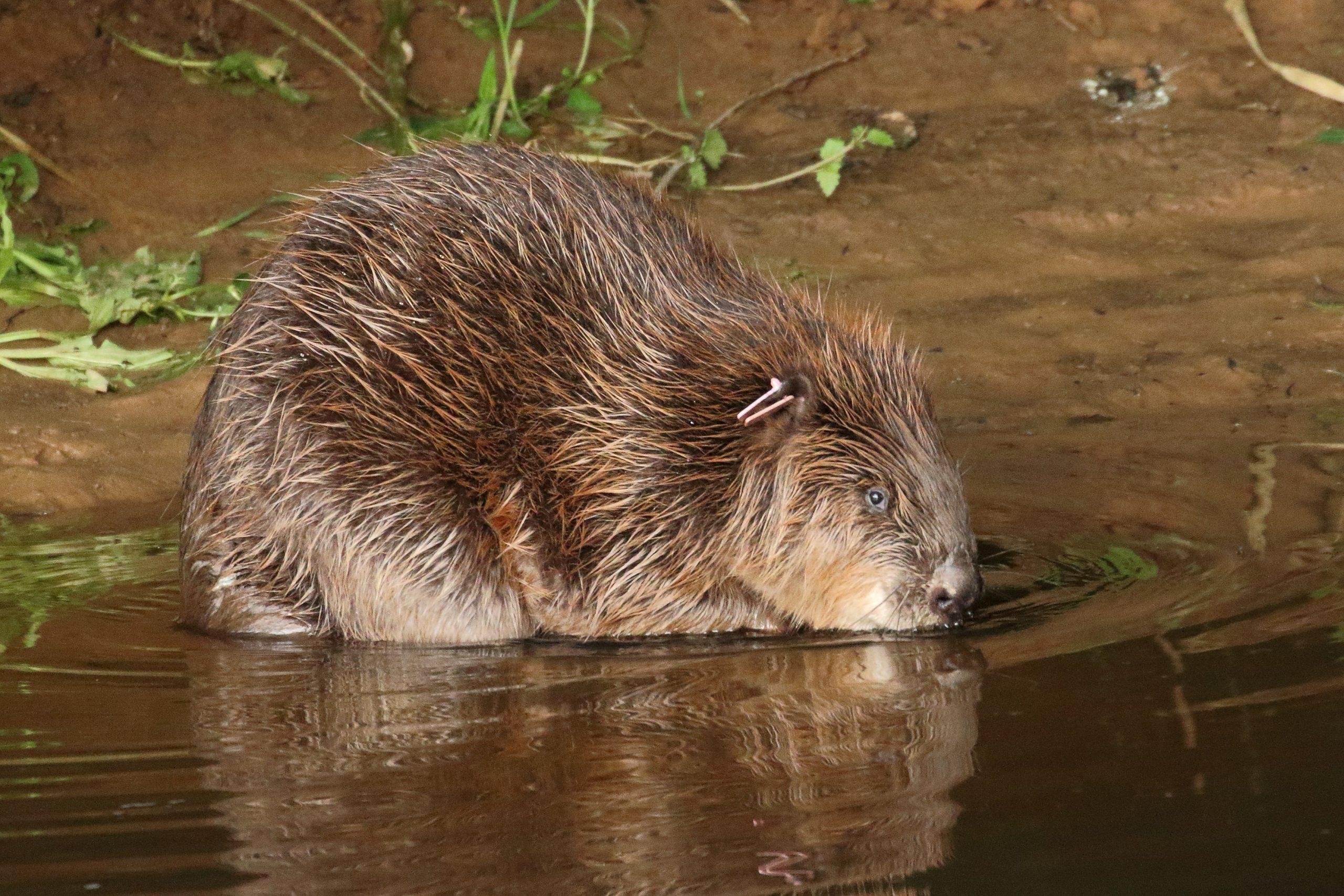 After 400 years, beavers allowed back in the wild in England for good - GLOBAL HEROES MAGAZINE