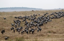 Wildebeests (Connochaetes taurinus) are seen after crossing the Mara river during their migration to the greener pastures, between the Maasai Mara game reserve and the open plains of the Serengeti, southwest of Nairobi, in the Maasai Mara game reserve, Kenya August 9, 2020. Picture taken August 9, 2020. REUTERS/Thomas Mukoya
