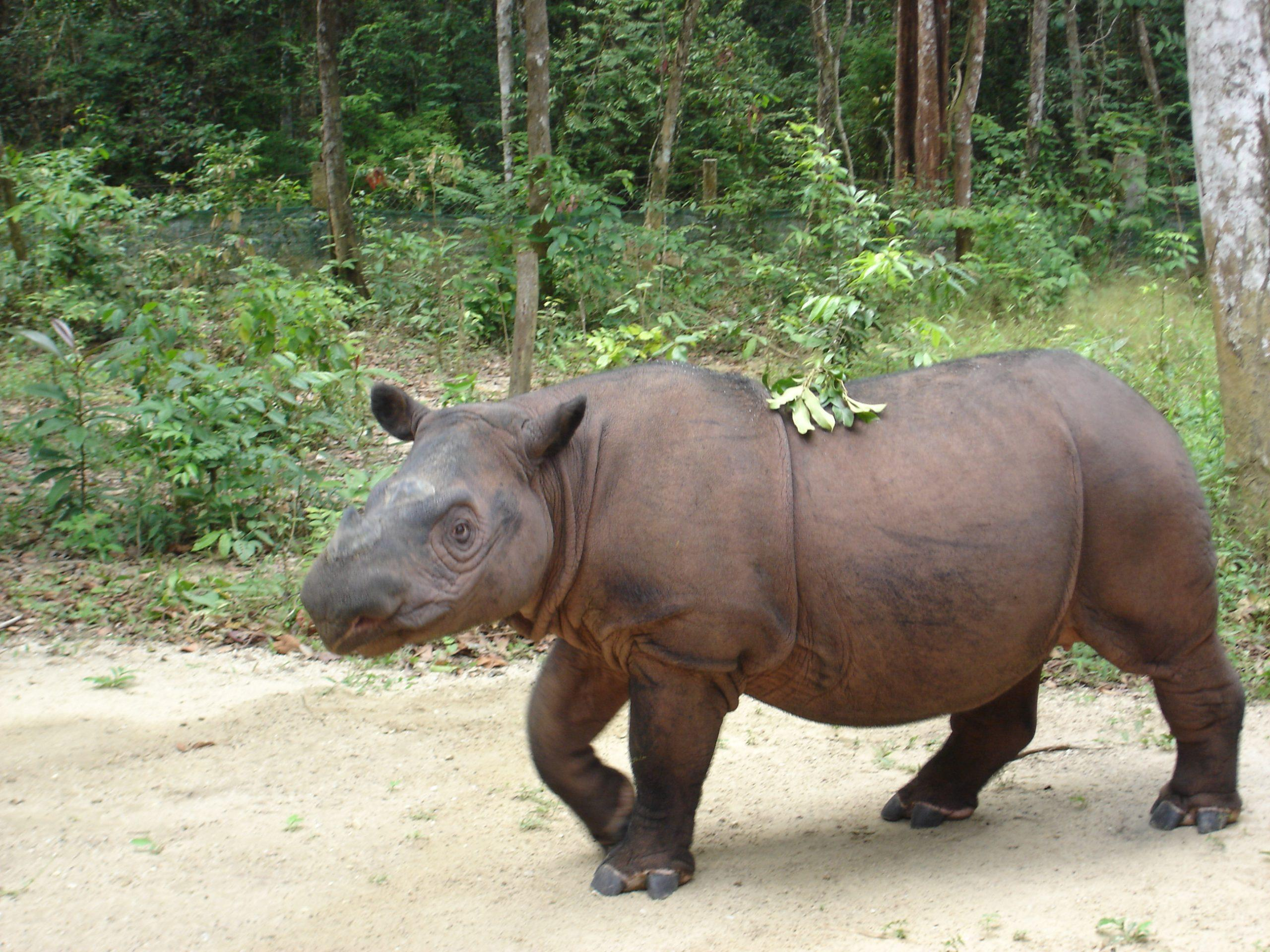 Back from the dead? Stem cells give hope for revival of Malaysia's extinct rhinos - GLOBAL HEROES MAGAZINE