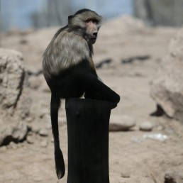A baboon is seen at the 'Buin Zoo' which is looking for sponsors to funds for food, maintenance and veterinary controls for its animals due the lockdown, during the coronavirus disease (COVID-19) outbreak, in Buin, Santiago, Chile September 9, 2020. REUTERS/Ivan Alvarado