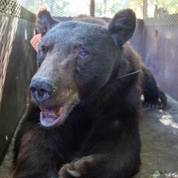 An injured bear, treated for burns suffered from the North Complex Fire, awaits its release at the Wildlife Investigations Lab, California, U.S., October 5, 2020. Photo taken October 5, 2020. MANDATORY CREDIT. California Department of Fish and Wildlife/Handout via REUTERS Rescue network seeks to save, rehab California's fire-stricken wild animals