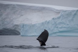 All-female scientific coalition calls for protection of Antarctic Peninsula A wounded whale that lost part of one of its fins swims near Two Hummock Island, Antarctica, February 2, 2020. Picture taken February 2, 2020. REUTERS/Ueslei Marcelino