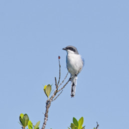The loggerhead shrike would have disappeared from Canada if not for WPC's recovery program. Photo: Alisa Samuelson.
