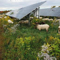 OSF Sheep Grazing at Solar Farm with Sheep farmers