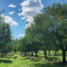 OSF Sheep Grazing in Orchard with Sheep farmers