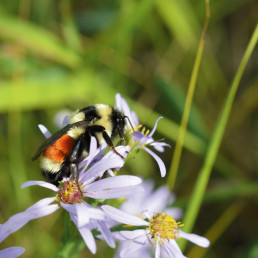 Canada's native pollinator species, like this orange-belted bumble bee in Alberta, are in decline and will require conservation efforts to bring them back. Photo: Tiffani Harrison.