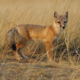 The swift fox is a species saved in Canada by conservation breeding and reintroductions. Photo: Gordon Court.