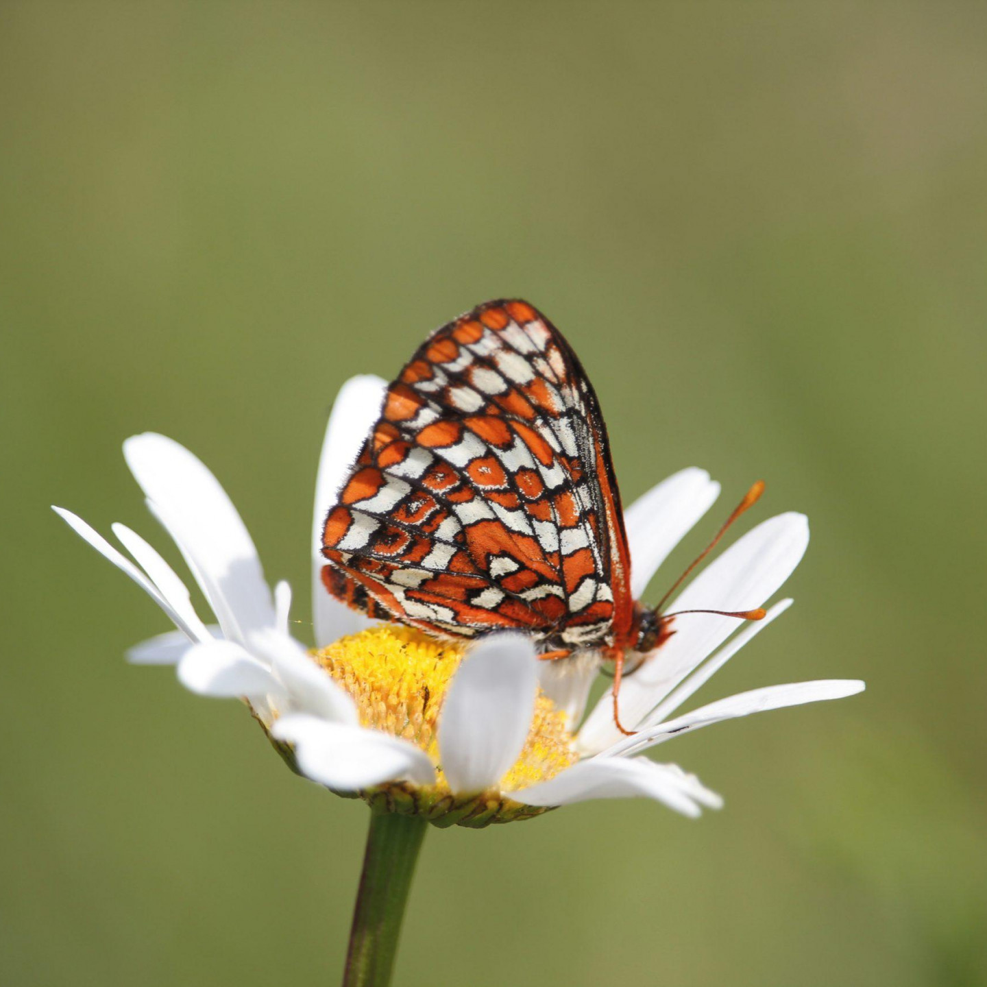 A Taylor's checkerspot butterfly just after release to the wild on Denman Island in BC. Photo: Lance Woolaver