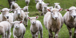 Ontario Sheep Farmers - Sheep in field, lamb recipe