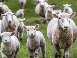 Ontario Sheep Farmers - Sheep in field, lamb recipe