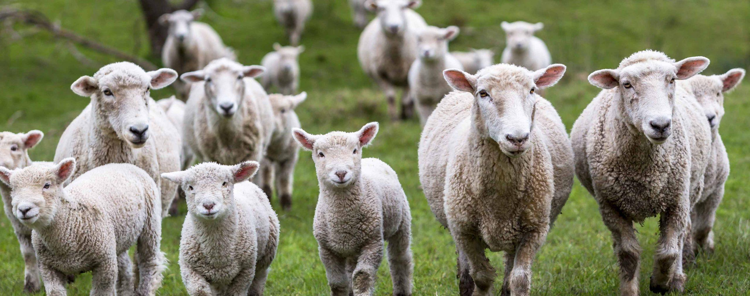 Sheep can help mitigate climate change