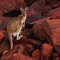 kangroos research animals