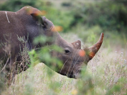 rhino poaching year animal