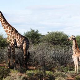 giraffes scientists animals africa