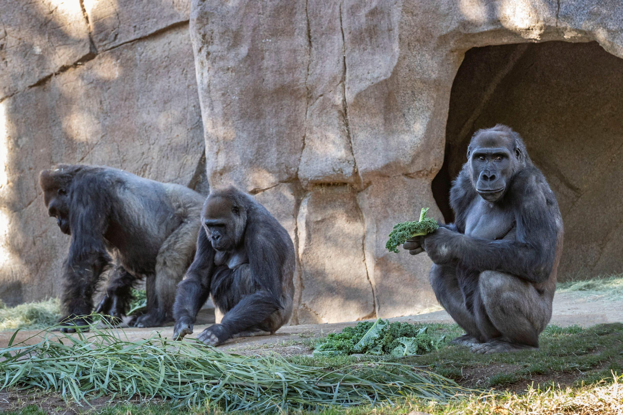 San Diego gorillas recovering from COVID-19, zoo says