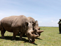 rhino northern white rhino endangered species scientists
