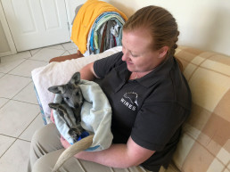 kangaroo australia animal care wildlife