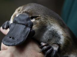 platypus extinction climate change australia