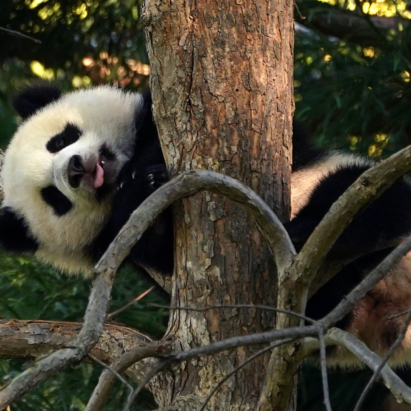panda zoo national zoo washington
