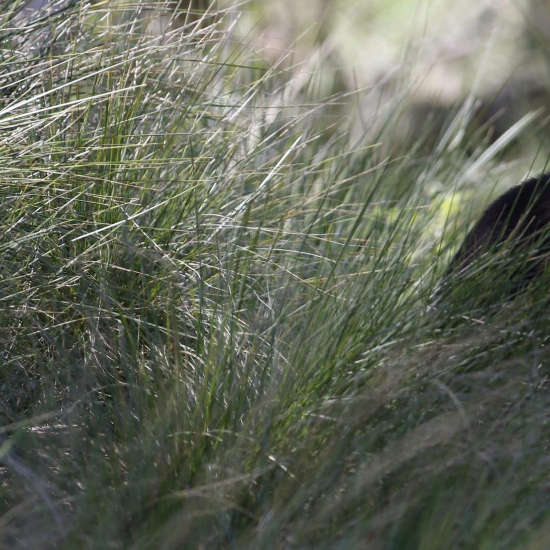 tasmanian devil australia endangered animals tasmania