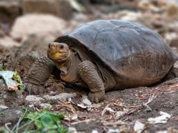 galapagos island extinct species giant turtle galapagos