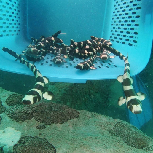 thailand bamboo sharks nature endangered