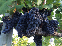 wine new jersey grape growing new jersey state