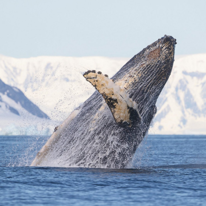 002GHN Antarctic Whale Research Project: Humpback Whales in a Changing Ocean
