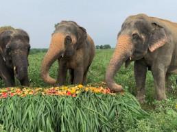 world elephant day india elephant sanctuary yamuna river
